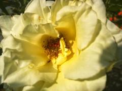 Nuances de jaune (LUMEN SCRIPT) Tags: macro plant nature rose flora flower yellow closeup close perspective artistic