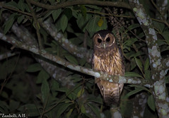 Strix virgata (azambolli) Tags: brasil animal ave bird owl coruja strix nature natureza
