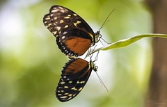 Mating Butterflies (Paula Darwinkel) Tags: butterfly butterflies insect invertebrate animal wildlife nature
