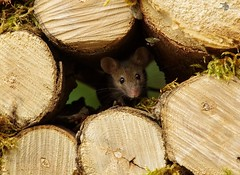 Mouse in log pile  (1) (Simon Dell Photography) Tags: house mouse log pile door coconut mossy moss logs wood stack garden wild wildlife cute funny detail close up awesome viral ears eyes george mini mildred sheffield s12 hackenthorpe decorated summer images mice two mouses animals rodents