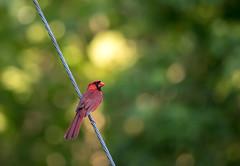 ending his song (long.fanger) Tags: centreville northerncardinal virginia cardinalmale electriclines utilityeasementarea