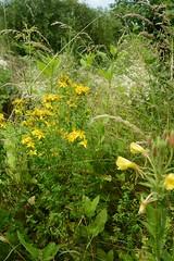 Johanniskraut Nachtkerze Mutterkraut (tama*) Tags: wildnisgarten wildpflanzen