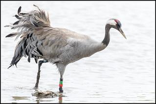 Common Crane (Male)