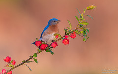 Eastern Bluebird (Male) (salmoteb@rogers.com) Tags: bird wild outdoor nature songbird eastern bluebird perch flowers color ontario canada toronto animal male