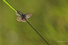 Vlinder/Butterfly (roelivtil) Tags: backlit blue commonblue icarusblauwtjepolyommatusicarus tegenlicht