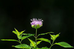 Monarda-40780.jpg (Mully410 * Images) Tags: monarda wildflower beebalm flower backyard bergamot