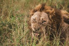_MG_1243 (Niklas H. Braun) Tags: wildlife south africa safari kruger national park manyeleti game reserve bird skeleton lion lioness vulture feeding meat nature