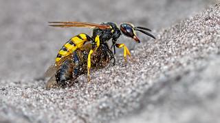 Bee Wolf