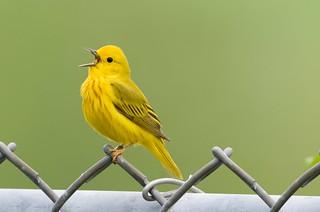 Yellow warbler-07--16