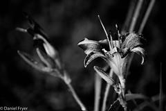 Flowers (danfryer2) Tags: bokeh monochrome blackandwhite amherstburg flower mono backyardphotography lily nikond7200 waterdrops digitalphotography