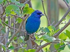 Indigo Bunting (1krispy1) Tags: cardinals bunting indigobunting texasbirds
