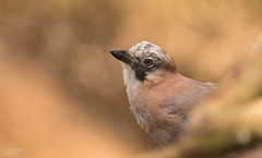 Jay (Jongejan) Tags: jay gaai bird animal wildlife soft nature outdoor outside countryside