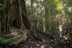 the giant (Rafael Zenon Wagner) Tags: riese australien baum dschungel nikon vegetation regenwald colossus australia boom jungles d810 28mm rain forest