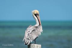 Brown Pelican 500_8356.jpg (Mobile Lynn) Tags: pelican brownpelican birds nature bird fauna pelecaniformes pelecanusoccidentalis shag wildlife waterbird waterbirds islamorada florida unitedstates us coth5 ngc npc