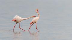 Flamencs 1 (pepgassó) Tags: flamenc flamenco greaterflamingo flamingo phoenicopterusroseus natura naturaleza nature wildlife biodiversidad biodiversitat biodiversity ave au aus fangar badiafangar deltaebre deltaebro