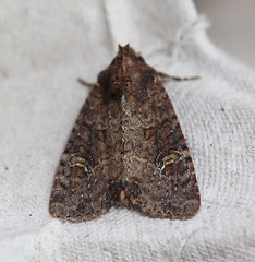 Dusky Brocade (StJohn Smith1) Tags: closeups insects moths lepidoptera british macromoths noctuids sussex garden visitors