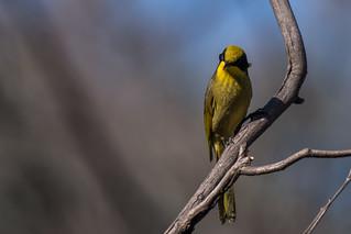 Yellow tufted honeyeater