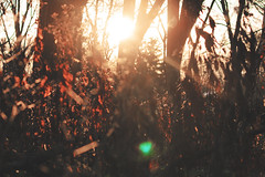 Sunlight Through the Trees (Jessica Kowalczyk) Tags: illinois fall canon sunlight sun sunset peeking trees blur branch foliage plants weeds dead falling red yellow brown sky forestry forest focus nature woods tree midwest
