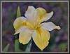 A dash of beauty (WanaM3) Tags: wanam3 nikon d750 nikond750 houston texas elfrancoleepark park flower blossom yellow iris