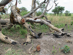 Ayilo II basic charcoal (FAO Forestry) Tags: fao un uganda refugees unhcr world bank environment energy south sudan woodfuel forestry