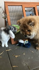 Sisters (& penguin) (gosselinclara) Tags: fur sud var south france animaux pets baby happiness bonheur amour love doudou complicity dog puppy chien chiot rabbit lapin bunny