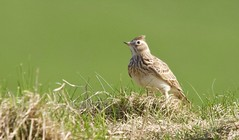 Skylark (Alan McCluskie) Tags: skylark larks alaudaarvensis birds passerine grassland grass fields uknature wildlife explored inexplore