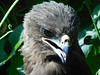 Black Kite (Banerjee-India) Tags: birds nature animal wildlife kite blackkite indianbirds birdsphotography