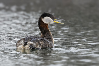 Red-necked Grebe / Grèbe jougris