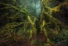 Old Man of The Forest (Gary Randall) Tags: gar01672 oregon forest trees moss vinemaple rainforest