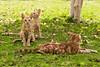 Felis catus (NakaRB) Tags: 2012 egypt sharmelsheikh clubelfaraanareef4 mammalia carnivora felidae feliscatus