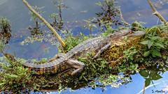 Relaxed Juvenile Alligator (Suzanham) Tags: log americanalligator crocodilian reptile animal nature wildllife grass water swamp alligator gator alligatoridae alligatormississippiensis juvenile mississippi