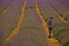 Crescendo / Growing up (Banstead, Surrey, United Kingdom) (AndreaPucci) Tags: banstead surrey london uk lavender field boy andreapucci mayfield downs