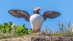 Puffin - Fratercula arctica...{Explored} (Liquidparadox) Tags: puffin blue sky bird cute beautiful fraterculaarctica pose portrait explored explore