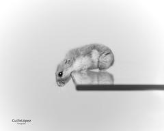 Hamster... (Troylo@stur) Tags: hamster raton mascota mascotas pet pets blancoynegro byn blackwhite bw canon 35mm