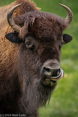 Bison (Matt Cuda - www.mattcuda.com) Tags: usa animal animals asheboro bison buffalo headshot licking mammal nc northcarolina potrait powerful strong tongue vertical wild zoo