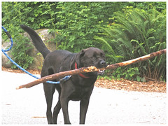 No, I Want to Carry the Big Stick! ... (Irene, W. Van. BC) Tags: noiwanttocarrythebigstick stick carryingastick dog dogs domesticanimals domesticatedanimals animals largeanimals largedogs black blackdogs park parkscenes outdoors outdoorscenes shrubs oceanwalk schrubbery greenery greenleaves 1001nights 1001nightsmagiccity 1001nightsmagicpeacock blacklabradordog animal allanimals ferns grasses