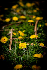 a bed of dandelions