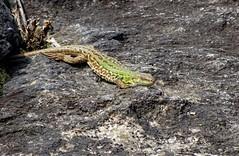 DSC00773b (Naturecamhd) Tags: sonycybershotdschx90v dschx90v hx90v newyorkbotanicalgarden nybg botanicalgarden bronx thebronx nature wildlife italianwalllizard reptile nativeplantgarden green eco
