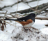 Return Visitor (John Neziol) Tags: jrneziolphotography portrait animal animalphotography wildlife wings outdoor bird birdphotography nature brantford beautiful bright bokeh nikon nikondslr nikoncamera nikond80 naturallight snow branches rufoussidedtowhee closeup