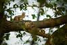 écureuil roux (Sciurus vulgaris) (G.NioncelPhotographie) Tags: écureuil roux sciurus vulgaris