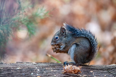 Snack Time (Amazing Aperture Photography) Tags: animal nature wildlife mammal chipmunk rodent eat snack food branch outside hiking cute furry tail bokeh sedona arizona southwest nikon nikond800 tamron