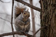 CloseToTheVest (jmishefske) Tags: 2018 d850 nikon tree cute wisconsin milwaukee squirrel humboldt april