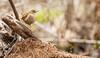 Winter Wren (BirdFancier01) Tags: log forest wetland nature wildlife bird wren winterwren