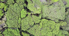 Mount Lico JB - drone image of forest canopy showing primary cover (Nov 17)