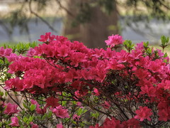 Red Azaleas (clarkcg photography) Tags: flowers outdoors garden azaleas park honorheightspark muskogee oklahoma red color saturated saturatedsaturday
