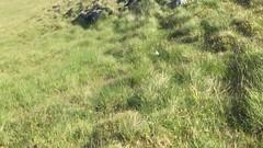 IMG_6854.TRIM (andyscott001) Tags: greatskua shiantislands scotland unitedkingdom stercorariusskua