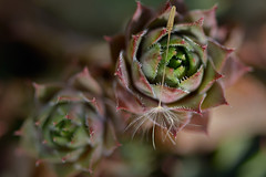 (Irina Valeria) Tags: macro plant green succulent backyard nikon