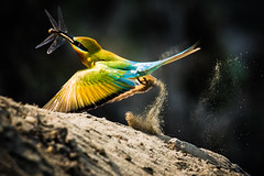 Blue-tailed bee-eater (Nazmul Hossain Nisad (Nature & Wildlife)) Tags: wildlife wildbirds wilderness wildwings ‪‎wildlifephotography‬ nature bangladesh bird beauty nazmulhossainnisad canon