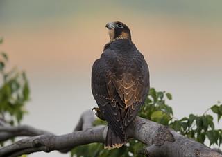 Peregrine Falcon (j)