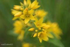 Summer feeling (roelivtil) Tags: summer puntwederik yellow bloem blooming meadow summertime lensbabysweet35 7dwffridayflora macromademoiselle lysimachiapunctata largeyellowloosestrife dottedloosestrife